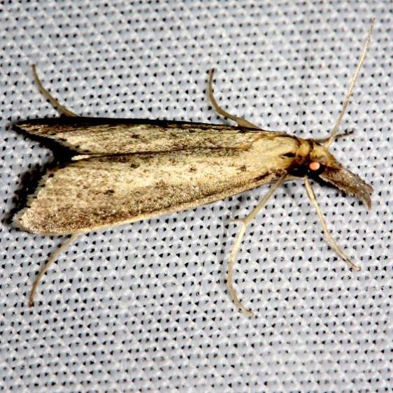 5323 Donacaula uxorialis Mahogany Hammock Everglades Natl Pk 3-10-13