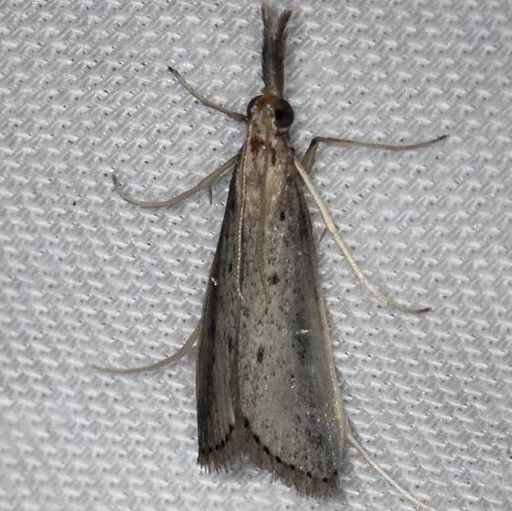 5323 Donacaula uxorialis Pine Glade Lake Everglades 2-21-14