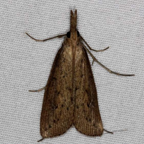 5324 Donacaula maximellus Oscar Scherer St Pk 3-12-15