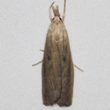 5324.97 Unidentified Donacaula Moth BG Lake of the Woods Ontario 7-21-16 (6)_opt