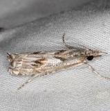 5334 Prioapteryx achatina Campsite 119 Falcon St Pk Texas 10-25-16 (1)_opt