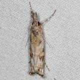 5334 Prioapteryx achatina Campsite 119 Falcon St Pk Texas 10-27-16_opt