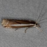 5355 Common Grass-veneer Moth Rodman campground Fl 3-19-14
