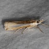 5355 Common Grass-veneer Moth yard 8-17-15 (10)_opt