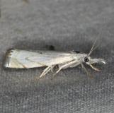 5361 Small White Grass-veneer Moth yard 7-8-14 (4)_opt