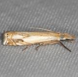 5362 Double-banded Grass-veneer Moth yard 6-5-13