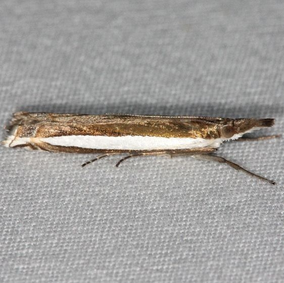 5369 Long-striped Grass-veneer Moth Silver Lake Cypress Glenn Fla 3-19-15