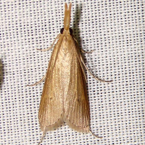 5375 Crambus johnsoni Kissimmee Lake St Pk 2-22-12