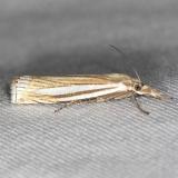 5378 Eastern Grass-veneer Moth yard 5-18-13