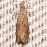 5381 Corn Root Borer Moth Payne's Prairie St Pk 3-22-12