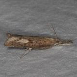 5381 Corn Root Webworm Moth yard 8-4-15