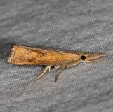 5381 Corn Root Webworm Moth yard 7-2-14