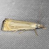 5391 Topiary Grass-veneer Moth yard 6-10-13