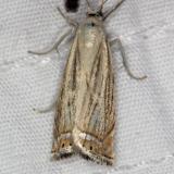 5391 Topiary Grass-veneer Moth yard 7-2-14