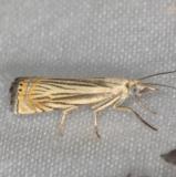 5391 Topiary Grass-veneer Moth yard 7-30-13