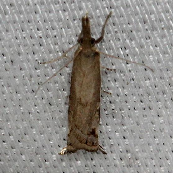 5393 Diminutive Grass-veneer Moth Alexander Springs Ocala Natl Forest 3-18-13