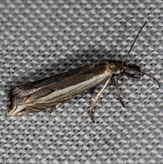 5393 Diminutive Grass-veneer Moth Highland Hammock St Pk 3-3-14