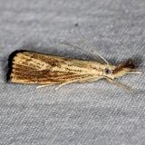 5403 Vagabond Crambus Moth yard 8-30-14