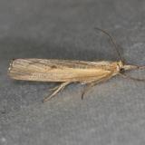 5413 Sod Webworm Moth yard 6-9-13