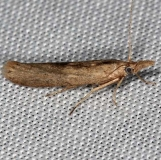 5417.97 Unidentified Pediasia Moth Rodman campground Fl 3-19-14