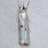 5419 Gold-stripped Grass-veneer Moth Silver Lake Cypress Glenn Fl 3-18-15