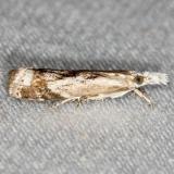 5420 Elegant Grass-veneer Moth yard 6-8-13