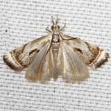 5420 Elegant Grass-veneer Moth yard 5-26-12