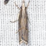 5451 Bluegrass Webworm Moth yard 7-21-13