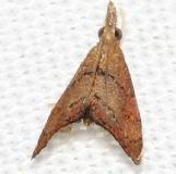 5456 Microcausta flavipunctalis Mahogany Hammock Everglades Natl Pk 3-10-13