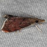 5456 Microcausta flavipunctalis Silver Lake Cypress Glenn Fl 3-16-15