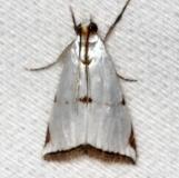 5463 Milky Urola Moth Collier Seminole St Pk 2-25-14