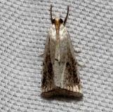 5463 Milky Urola Moth Kissimmee Prairie St Pk 3-11-13