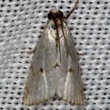 5463 Milky Urola Moth Tosohatchee WMA Fl 2-11-14