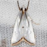 5464 Snowy Urola Moth yard 9-7-16_opt