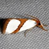 5465 Curved-line Argyria Moth Kissimmee Prairie St Pk 3-17-13