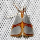 5465 Curved-lined Argyria Moth Kissimmee Prairie St Pk 3-16-13