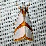 5466 Straight-lined Argyria Moth CREW Marsh Fl 3-6-12