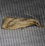 5476 Southern Cornstalk Borer Moth Kissimmee Prairie St Pk 2-17-14