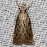 5481 Diatraea lisettaTosohatchee WMA Florida 2-11-14