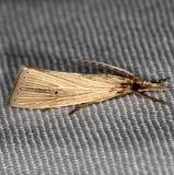 5492 Wainscot Grass-veneer Moth Hidden Lake Everglades 2-18-14