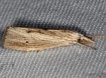 5499 X-linear Grass-veneer Moth Pinelands Everglades Fl 2-18-14