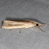 5506.97 Unidentified Xubida Moth Collier Seminole St Pk 3-2-14