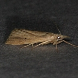 5506.97 Unidentified Xubidia Moth Lucky Hammock Fl 2-22-14