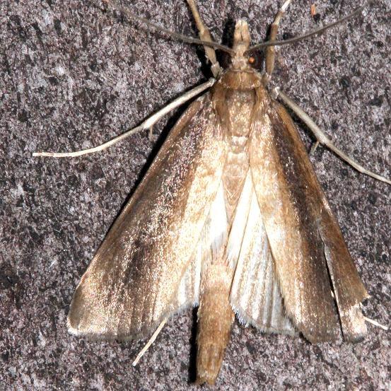 5307 Carectocultus perstrialis Mahogany Hammock Everglades Natl Pk Fla 3-10-13