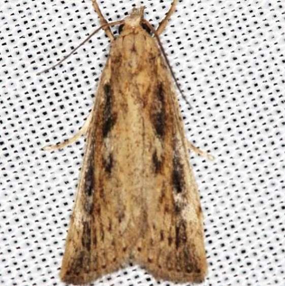 5319 Long-beaked Donacaula Moth Lake of the Woods Ontario 7-21-16 (15a)_opt_opt