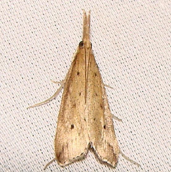 5323 Donacaula uxorialis Kissimmee Prairie St Pk 3-12-12