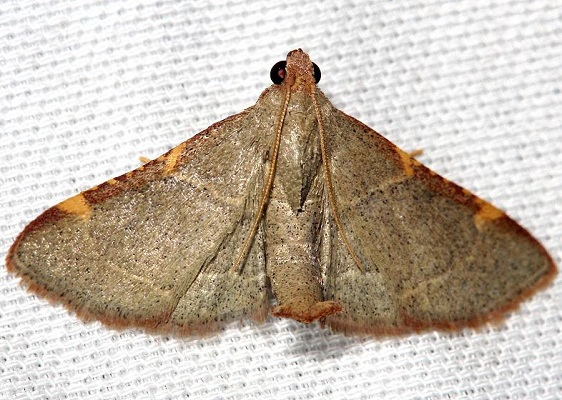 5530 Pink-fringed Dolichomia Moth Lake Kissimmee St Pk Fl 2-26-13 (89a)