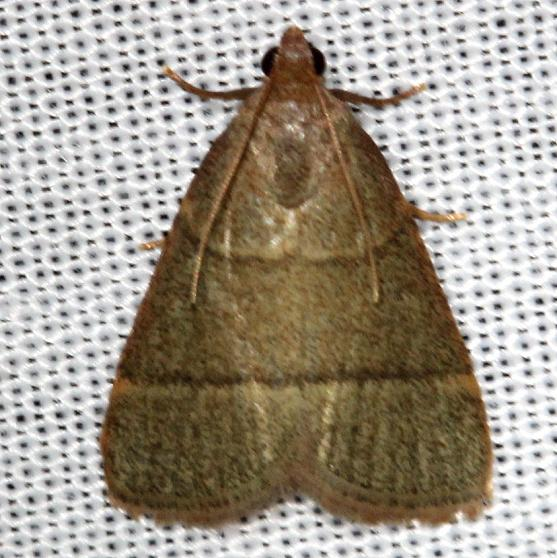 5531 Southern Hayworm Moth Alexander Springs Ocala Natl Forest 3-18-13