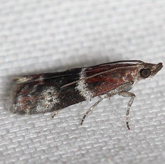5653 Cranberry Fruitworm Moth Obed River shed Tenn 8-26-12