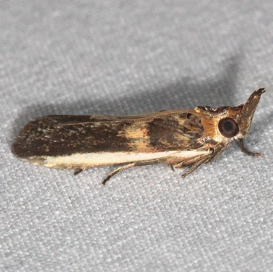 5744 Gold-banded Etiella Moth Jonathan Dickinson St Pk Fl 3-6-17_opt